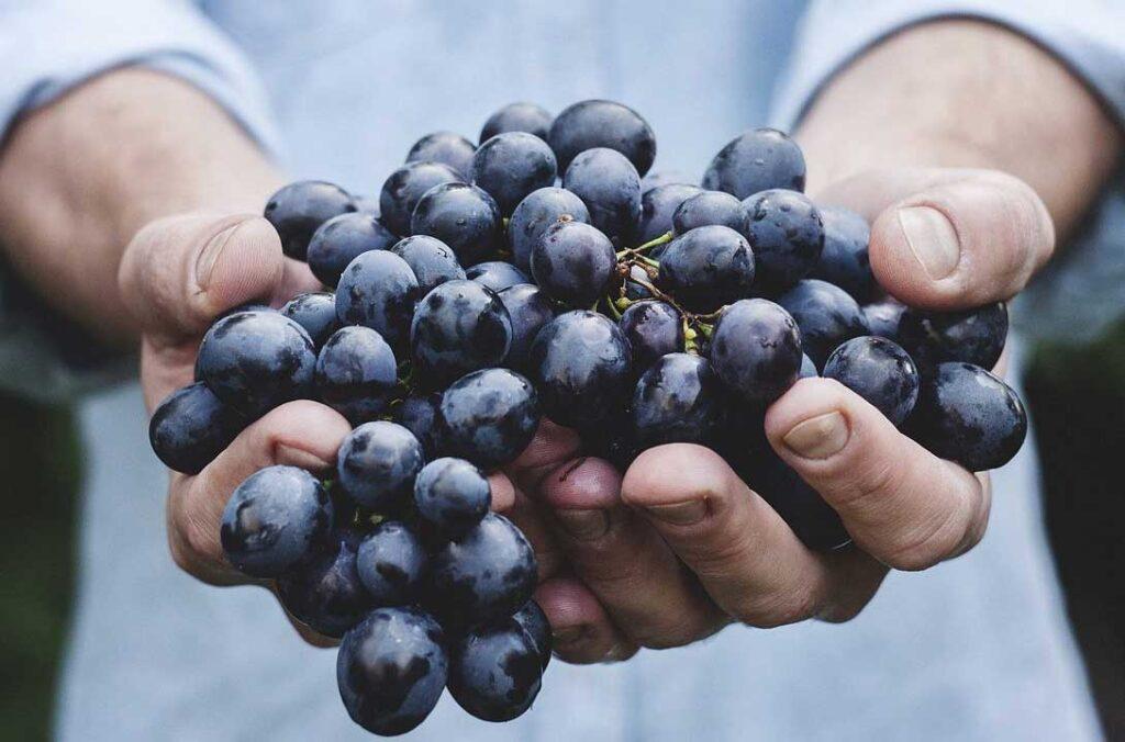 Odrůdy révy vinné